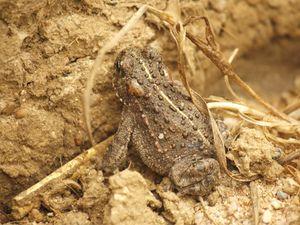 Le crapaud calamite est protégé à l'échelle internationnale (convention de Berne annexe 2 directive habitats annexe 2, 4