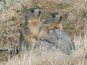 Marmotte ouvre son Terrier