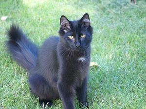Le pas du chat noir