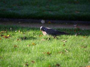 Le pigeon de service.