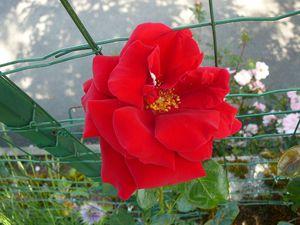 Rosa, rosi, rosa....