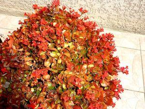 L'inconnue continue...le kalanchoe fleurit mais le feuillage est rougeâtre !