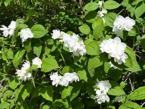 """Le seringat ou """" jasmin des poètes"""" retrouve une nouvelle vigueur et nous enivre de son parfum !"""