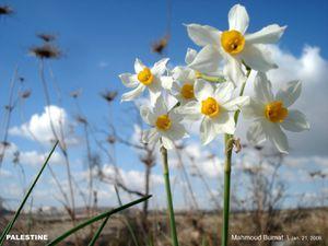 زهرة النرجس ـ 1