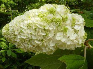 Hydrangéa Quercifolia HARMONY et le détail de la fleur L.24cm l.15 cm