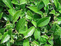 Arbre de Judée, canelle, paronyque, thé vert, menthe verte, lavande, laurier noble et origan libanais.