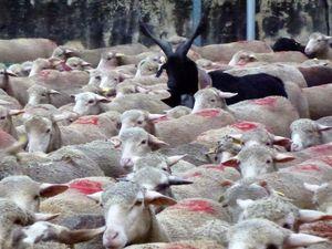 Au milieu des brebis, quelques chèvres du Rove, guides du troupeau !