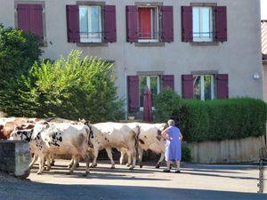 Un des troupeaux rentrant à l'étable...