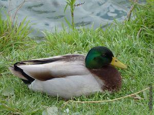Quelques canards colverts, mâles et femelles rencontrés en chemin