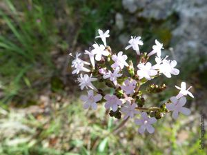 Le vallon de Ponserot, dernier vallon sauvage de Rognes (3) : la flore / Balade en Provence