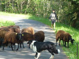Les moutons noirs du Velay