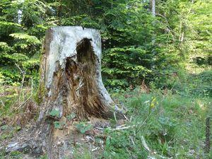Un vieux tronc d'arbre