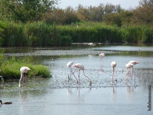 Des flamants roses en train de se nourrir naturellement