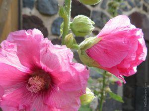 Les roses trémières roses