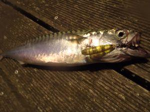 Le topwater et les pêches de surface en rockfishing