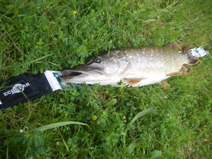 Spoon tail shad 6 pouces