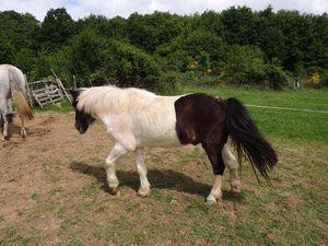 Aspect général d'un poney atteint de Cushing. Copyright Techniques d'élevage
