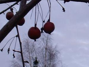 Le pommier d'ornement chargé de fruits cette année offrira aux merles de quoi se nourrir cet hiver- La nature fait bien les choses