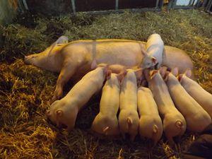 Visite de  ferme : Un agriculteur et des cochons bien dans leur bio