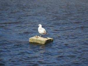 oiseaux de Landerneau : goélands, colverts et choucas