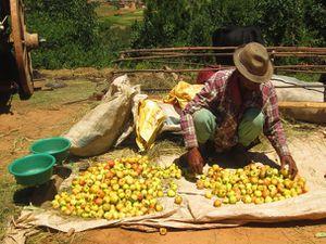 """À Fandriana, les vendeurs de pomme viennent de la brousse en charrette couverte, tirée par les zébus. Les charrettes leur servent d'abri contre le soleil mais aussi de """"tente"""" pour la nuit..."""