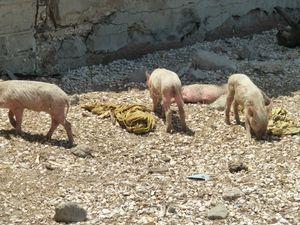 les fameux cochons