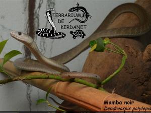 Mamba noir (Dendroaspis polylepis)