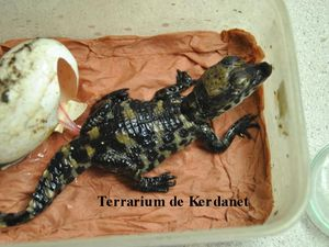 Dix Osteolaemus tetraspis - Crocodile à front large - le record en France.