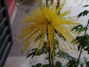 Spécial Chrysanthèmes