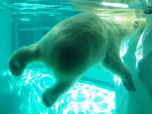L'ours blanc a fait son show !