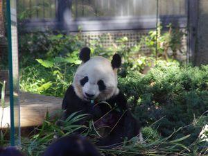 Les pandas ! Les vedettes du Zoo