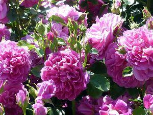Sublime rosier 'Princesse Anne',
