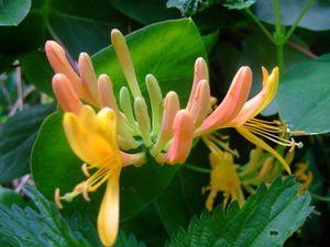 Chèvrefeuille en fleurs&#x3B; vous, vous ne pouvez pas sentir cette odeur suave, attirante...une merveille, c'est vraiment un parfum envoùtant. Chèvrefeuille Goldflame : jaune et rose au parfum orangé, odeur moins prononcée que le premier.