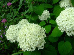 hortensia blanc.