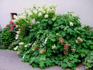 Il y a 4 sortes d'hortensias qui se marcottent ou se bouturent facilement, il est préférable de le faire au printemps pour que les plantules aient le temps de s'enraciner.