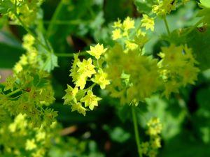 Alchémille&#x3B; cette plante est magnifique lorsque l'eau perle sur ses feuilles..