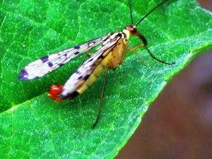 La mouche scorpion: impressionnante mais n'est pas dangereuse du tout..