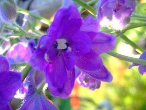 Chaque coeur de fleur est spéciale. et ce bleu!!!!! wahouuuuu!! j'adore...