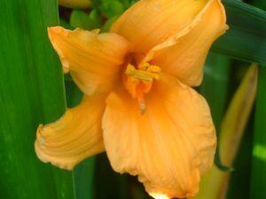 hémérocalles mauves ourlées de violet et blanches crème frisées agées de 2 ans, elles ont du mal de proliférer, peut-être faudrait-il que je les change de place, je verrai un peu plus tard. J'ai publié toutes les couleurs de fleurs que j'ai &#x3B; les jaunes et oranges simples sont très florifères et envahissantes, elles se maitrisent facilement, DOMMAGE, que la floraison ne dure pas assez longtemps...