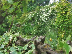 Voici le rosier blanc en pleine floraison fin mai. début Juin ....