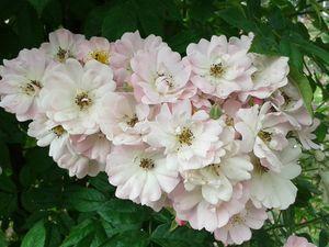 En gros plan ces magnifiques roses ... jolies non ??........