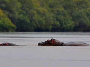Hippopotames Amphibies - Safola (Sud du Mali, 20 km de la frontière de la Guinée), Mali, 02 juillet 2011