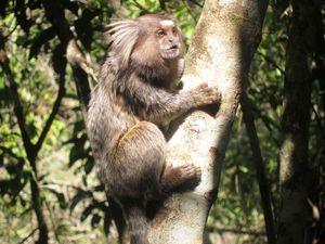 Les singes Saguis du Brésil et la plage  Lopez Mendez