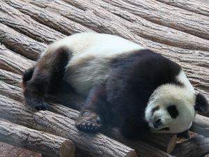 Zoo de Beauval : les pandas