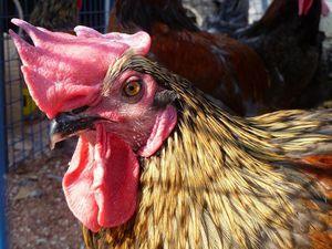une bande de poulets au marché