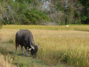 Les buffles en Asie.