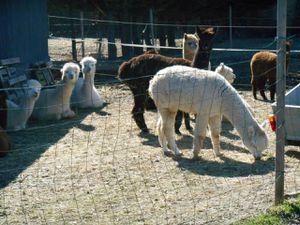 """Le """"Tibet"""" local avec ses lamas descendus en plaine pour l'hiver..."""