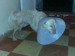 Arabia sa prise en charge vétérinaire à l'hôpital vétérinaire de Cordoba