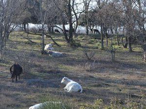 Elles s'adaptent parfaitement au climat, froid l'hiver et chaud l'été, elles ne sont pas impressionnées par le relief et s'alimentent avec l'ensemble de la végétation disponible sur l'exploitation.(Ronce inclus), elles coûtent le moins cher à nourrir par livre de poids gagné! Un seul fils électrifié suffit à fermer l'enclos. Elle est très adaptée pour nettoyer le sous bois, sans causer le moindre dommage aux arbres.