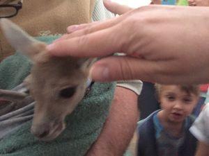 Orphelinat de kangourous